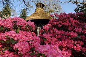 Rhododendron- und Azaleenblüte